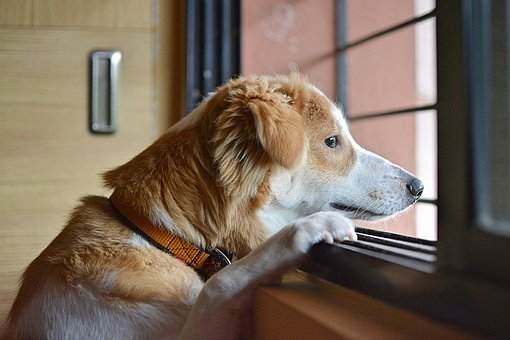 Sad Mood Dog Looking Out